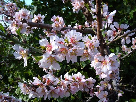 Mandorlo in fiore ad Agrigento